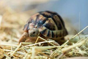 Egyptisk landsköldpadda