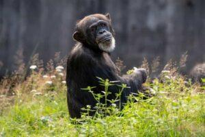 Västafrikansk scimpans