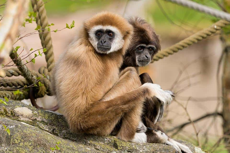 Vithandad gibbon