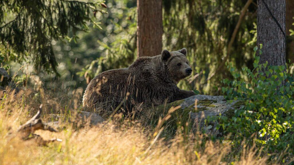 Brunbjörn Nordiska skogen
