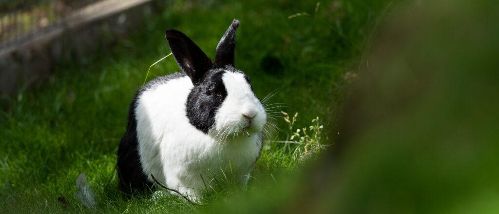 Holländsk-kanin